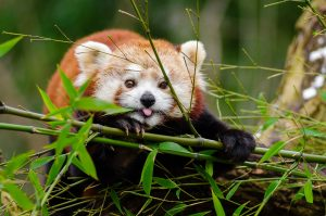 portrait of a red panda